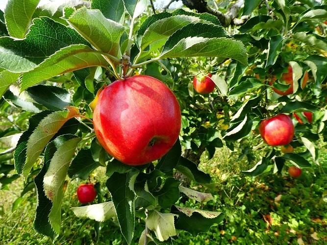 リンゴimage4